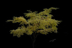 Tree wm (peter.coleby) Tags: tree yellow high key autumn fall acer
