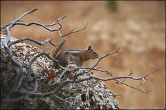 Ardilla listada en Bryce Canyon (Callospermophilus lateralis) (Jess Gabn) Tags: brycecanyon jesusgaban ardilla ardillalistada goldenmantledgroundsquirrel callospermophiluslateralis