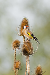 Goldfinch (keith.gallie) Tags: goldfinch teasle seeds sunshine moore warrington portrait british nature reseve autumn finch bird birdwatching birdwatcher birder pretty bokeh nikon7200 nikon300mmf4