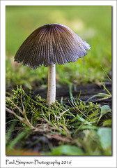 Mushroom (Paul Simpson Photography) Tags: mushroom mushroomphotography sonya77 october2016 imageof imagesof paulsimpsonphotography photoof photosof plant plants fungi fungus naturalworld nature naturephotography grass