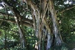 Banyan Tree (jjandames) Tags: hawaii oahu 2016 honolulu banyantree