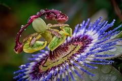 wet passion (rondoudou87) Tags: passion fleur flower couleur color humide wet drop droplet water waterdroplet waterdroplets fleurdelapassion pentax k1 nature jardin garden