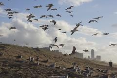 DSC00440 (ZANDVOORTfoto.nl) Tags: meeuwen meeuw seagul seagull seaguls beach beachlife strand strandleven zand zandvoort aan zee bloemendaal herfst autumn october