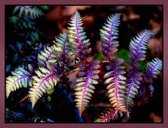 fancy (milomingo) Tags: nature outdoors garden spring plant plantlife horticulture fern leaf vivid japanesefern mygarden botanical foliage frame multicolored light shadow contrast purple blue cream vibrant photoborder cmwd cmwdblue