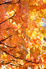Autumn carries more gold in its pocket than all the other seasons. (loobyloo55) Tags: blue autumn trees light orange tree leaves yellow canon gold golden dof bokeh newsouthwales 50mmlens canoneos400d
