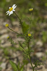 Anthemis cotula (Layla Dishman) Tags: asteraceae anthemiscotula