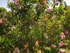 IMG_0556 (ceztom) Tags: city trip roses plant cemetery rose by garden square with native cemetary hamilton visit betty historic rivers april sacramento 20 davis speech 19 rosegarden cezanne perennials opengardens kathe cez 1000broadway april20 2013 930–200