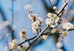 Ume Blossoms (Jenmendrstein) Tags: flower minolta kodak  7 umeblossoms supergold400 af100300mmf4556apo