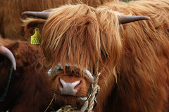 toffee (grahambob68) Tags: animal animals rural canon scotland cow cattle canon20d farming agriculture paisley toffee