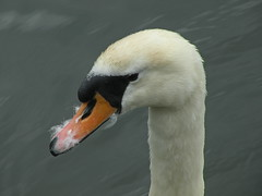 Latest fashion for Swans Moustache and Beard! (BIKEPILOT) Tags: male bird nature water animal canal swan wildlife berkshire mute newbury wildfowl kennetavoncanal