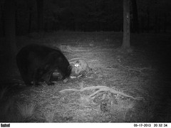WV Black Bear And WV Raccoon (ThePoppa) Tags: bear ir wildlife wv raccoon blackbear bushnell trailcamera trailcam gamecamera