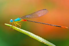 IMG_0064 (thienbs) Tags: macro dragonfly thienbs