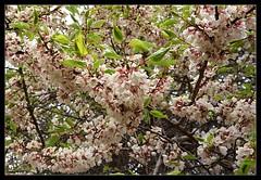 Apricot Blossom At Turtuk (Indianature26) Tags: india mountains april apricot himalayas jk ladakh balti baltistan juley 2013 apricotblossom turtuk indianature julley turtuktyakshi baltivillage ethnicbalti