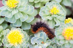 'Big Hairy Caterpillar' (Karen Appleyard Photography) Tags: plant macro nature closeup garden insect coast scotland highlands nikon gardening wildlife tiger moth scottish caterpillar coastal larva d800 ardmair