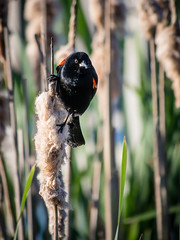 Red-winged Blackbird (shooter1229) Tags: bird wetlands redwingedblackbird heronpark