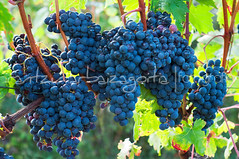 (Irantzu Arbaizagoitia) Tags: autumn red summer food plant black green nature water rain closeup fruit rural countryside leaf vineyard juicy healthy vines branch close natural wine sweet farm background farming seasonal harvest grow vine drop fresh winery growth grapes bunch growing agriculture sunlit horticulture grape horticultural grapevine agricultural