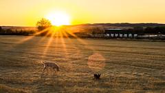Dog Art Sunset (Juaberna) Tags: dogs wheatfield trigal landscape paisaje campos sunset puesta de sol nikon d610 sigma 35mm f14 art