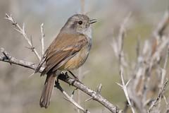 Viudita (ik_kil) Tags: chile birds tyrant lareina parquemahuida reginmetropolitana viudita avesdechile patagoniantyrant colorhamphusparvirostris peutrn
