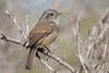 Viudita (ik_kil) Tags: chile birds tyrant lareina parquemahuida regiónmetropolitana viudita avesdechile patagoniantyrant colorhamphusparvirostris peutrén