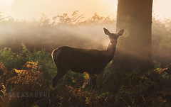 Forest Jewels (alex saberi) Tags: richmondpark richmond london deer mist autumn forest uk england nature wildlife animals