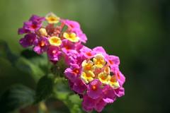 .. (_tess_) Tags: tess flowers greece lefkada