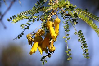 Kowhai ~ Otari-Wilton's Bush