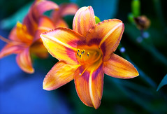 On the verge of light (Pensive glance) Tags: lily lilium amaryllis daylily lis fleurdelis flower plant fleur plante