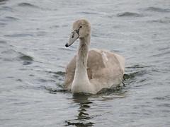 Juvenile swan (deannewildsmith) Tags: earthnaturelife swan cygnet
