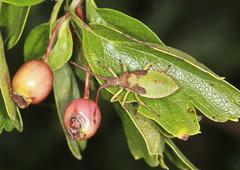 Box Bug Final Instar Nymph (Prank F) Tags: cambourne wildlifetrust cambsuk wildlife nature insect macro closeup bug squashbug instar nymph final box gonocerusacuteangulatus