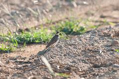 Horny Bird (martytdx) Tags: deefieldtownship johnsonsodfarm nj birding birds grassland lark hornedlark eremophilaalpestris male eremophilaalpestrisalpestris eaalpestris northernrace eremophila alaudidae
