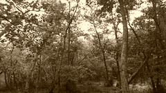 Brownsea Island (trevormulder666) Tags: reflections nature poole brownseaisland sky woods trees tree dwt dorsetwildlifetrust pooleharbour sepia negative greyscale nationaltraustsea water sunup ferry
