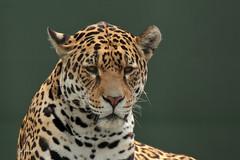 Jaguar Rica (K.Verhulst) Tags: rica jaguarrica jaguar cats hoenderdaell landgoedhoenderdaell stichtingleeuw annapauwlona nl ~themagicofcolours~ix