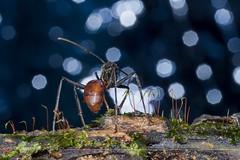 IMG_9807_ semut nak balik @ (alysyafiq) Tags: ant fungus fungi moss macrolanscape natureshot floraandfauna macrofloraandfauna nature bokeh macro walk tall step legs