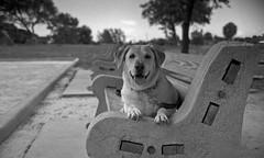 Happy Days (PositiveAboutNegatives) Tags: rangefinder kiev2a kiev2 kievii contaxii zeiss vintagecamera 50mm sonnar jupiter8 dog lab labrador yellowlab park bench film analog bw blackandwhite kentmere coolscan bkeh parkbench