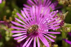 Nature (Aperture111-Thanks for 1000000+ views) Tags: nature bee biene flower macro makro sigma105mm