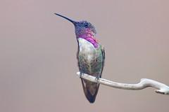 Costa Hummingbird (Insu Nuzzi) Tags: bird hummingbird nature wildlife