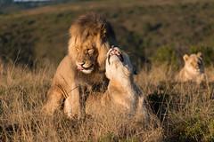 Lions Mating (Ron Scubadiver's Wild Life) Tags: south africa nikon 70300 safari nature animals carnivore specanimal