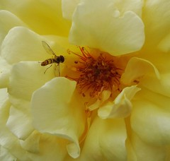 Where the heart is (gomosh2) Tags: flowerfly hoverfly flowerandinsect flowercenter flowermacro