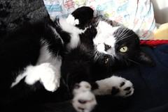 Max is enjoying a nice relaxing Sunday! (KT-wu) Tags: blackandwhitecat cat kitty tuxedo tuxedocat maxthecat rescuecat sunday relaxing