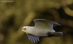 Little Corella (vscarf10) Tags: 7d mark ii 7dmarkii canon dslr eos 100400mmii zoom handheld goldenhour little corella bird wings glide feet eyes beak tail sunlight shine feathers