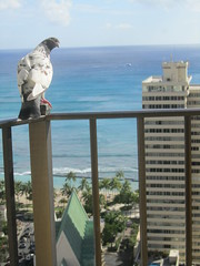 IMG_2940 (dennis_p) Tags: honolulu hawaii hiltonwaikikibeach waikikibeach waikiki