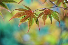 Just the two of us (JPShen) Tags: maple leaf leaves justthetwoofus changing color bokeh