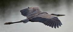 Aug 31 201610980 (Lake Worth) Tags: animal animals bird birdwatcher birds canonef500mmf4lisiiusm canoneos1dxmarkii everglades feathers florida nature outdoor southflorida waterbirds wetlands wildlife wing