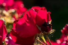 Rosenblte im Gegenlicht - Rose against the light (riesebusch) Tags: berlin garten marzahn