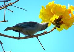Sanhau Cinzento - Sayaca Tanage (cariselazari) Tags: ipamarelo natureza sanhaucinzento nature brazil sayacatanage goldentrumpettree thraupissayaca wildlife bird fauna flora