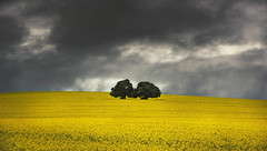 Fields of gold (Jay Daley) Tags: cowra nsw canola australia nikon 70200