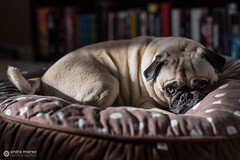 Pug at rest (ardram) Tags: photography pet dog pugs pug