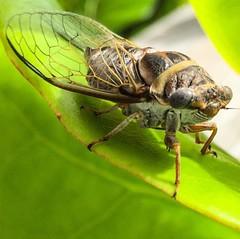 Cicada bug #cicadabug #macro #iPhone6 #Closeup #Floridanature #Melbournebeach #insects #Greenleaf #Floridaoutdoor #Lovenature #iPhoneCloseup #macrophoto #macrobug #bug #Floridabug (outreach images) Tags: outreachimages closeup closeupphotography lovenature melbournebeachflorida bugmacro floridanature macro iphonemacro cicadabug instagramapp square squareformat iphoneography