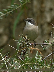 Lesser Whitethroat (Sylvia curruca) (gilgit2) Tags: aliabad avifauna birds canon canoneos7dmarkii category fauna feathers geotagged gilgitbaltistan hunza imranshah lesserwhitethroatsylviacurruca location pakistan species tags tamron tamronsp150600mmf563divcusd wildlife wings gilgit2 sylviacurruca