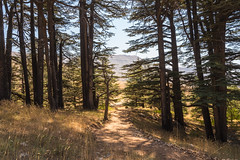 A view from the cedars forest (sambOOzik) Tags: ngc cedars lebanon